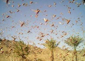 Locust in the south of Israel